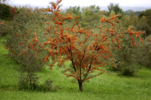 argousier-arbre